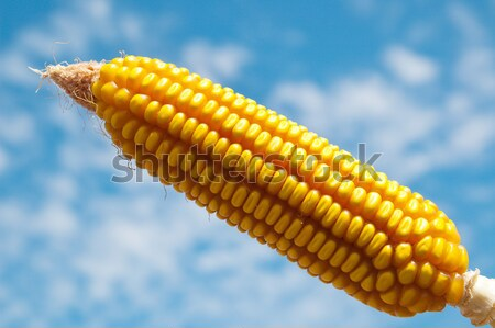 fresh raw corn on the cob Stock photo © mycola