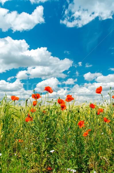 Stockfoto: Groene · veld · Rood · klaprozen · bewolkt · hemel