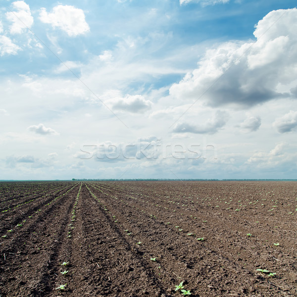 plowed field with little green shots and dramatic sky Stock photo © mycola
