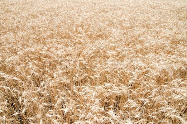 Amarelo grão pronto colheita sul Ucrânia Foto stock © mycola