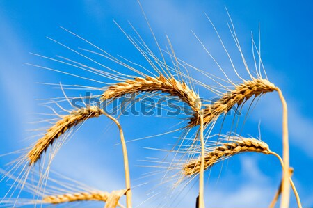 close up of ripe wheat ears against sky Stock photo © mycola