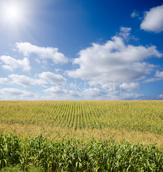 green maize field under blue sky with sun Stock photo © mycola