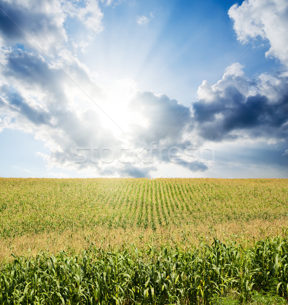 field with green maize under dramatic sky with sun Stock photo © mycola