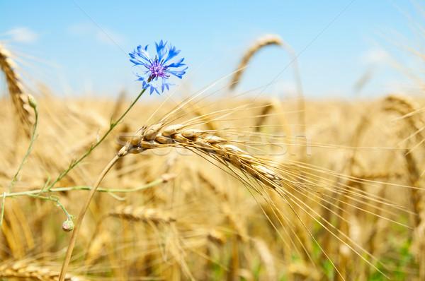 Kulaklar buğday çiçekler gökyüzü manzara sağlık Stok fotoğraf © mycola