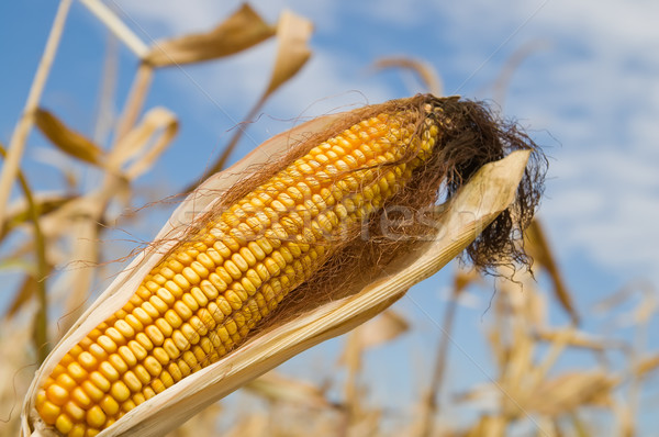 ripe maize with husk Stock photo © mycola