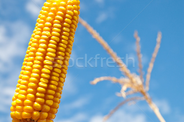 maize close up under cloudy sky Stock photo © mycola