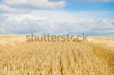 after harvesting Stock photo © mycola