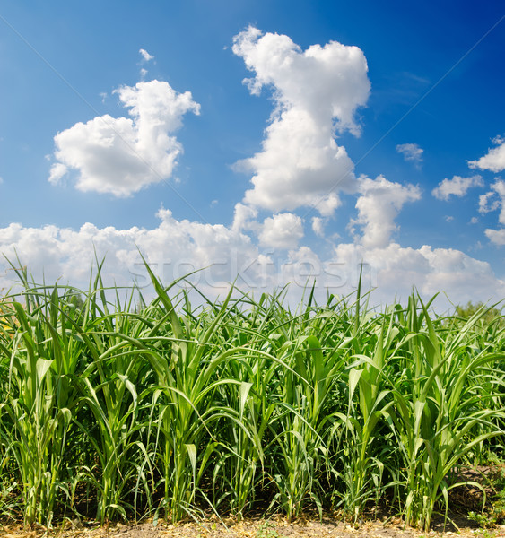 Beautiful green maize field Stock photo © mycola