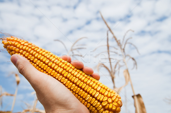 maize in hand under sky Stock photo © mycola
