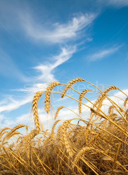 Golden wheat ears with blue sky over them Stock photo © mycola