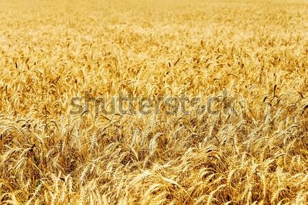 Campo trigo dourado natureza pão agricultura Foto stock © mycola