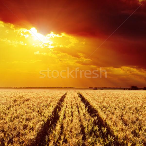 Estrada campo cevada dourado pôr do sol luz Foto stock © mycola