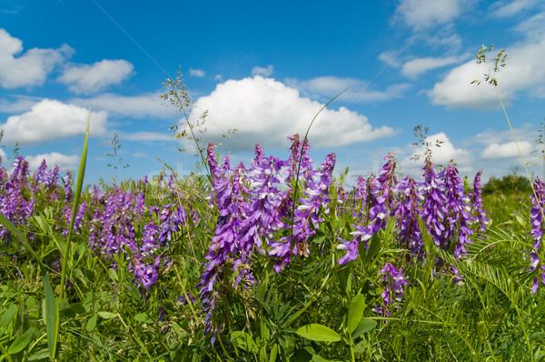 Colorido flores silvestres bom céu verão azul Foto stock © mycola