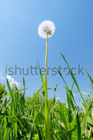 Edad diente de león hierba verde campo cielo azul cielo Foto stock © mycola