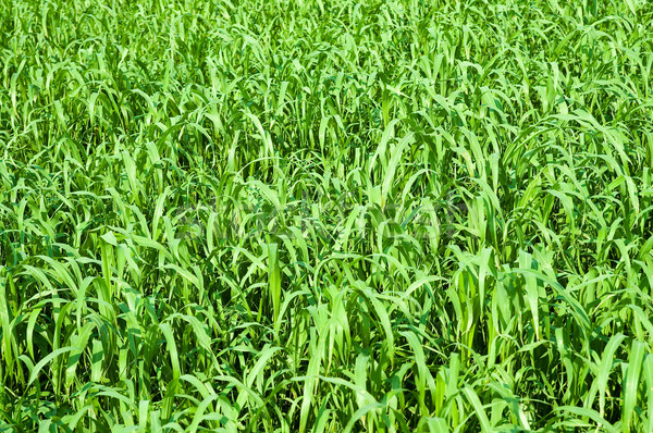 green grass on the summers field Stock photo © mycola