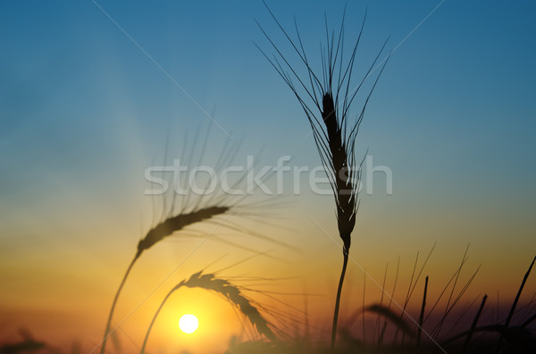 Stock photo: golden sunset over harvest field