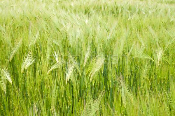 Bereich grünen Weizenfeld Weizen Landschaft Schönheit Stock foto © mycola