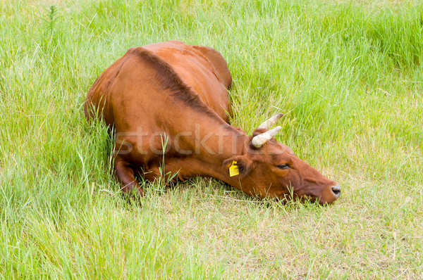 a red steppe cow lies on a grass Stock photo © mycola