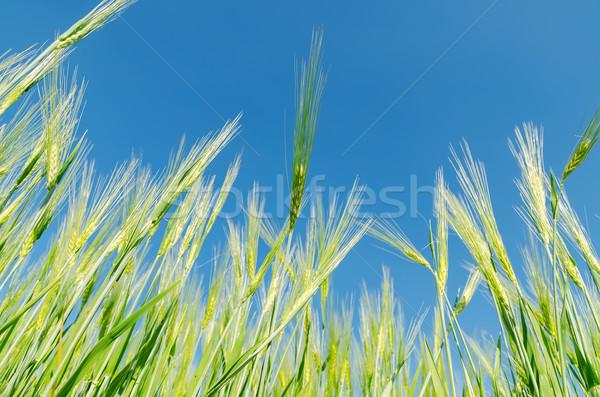 Mavi gökyüzü yeşil arpa bahar doğa ışık Stok fotoğraf © mycola