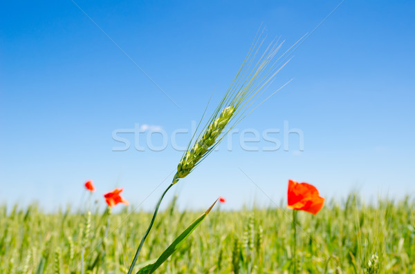 Verde cebada rojo amapola cielo primavera Foto stock © mycola