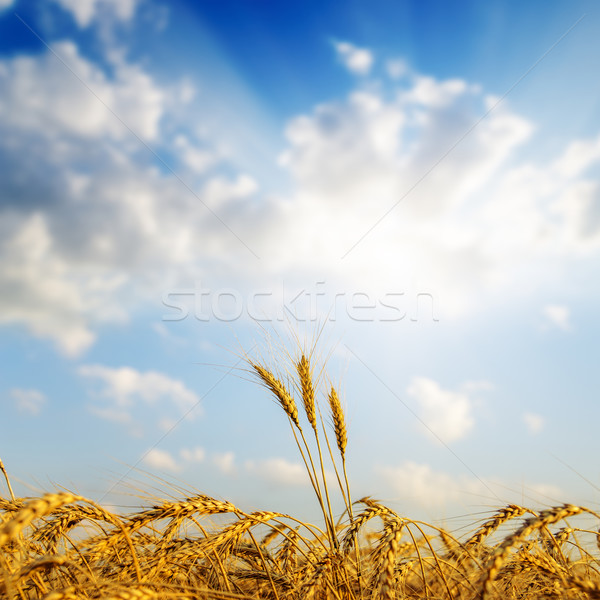 sunset over golden harvest. soft focus Stock photo © mycola