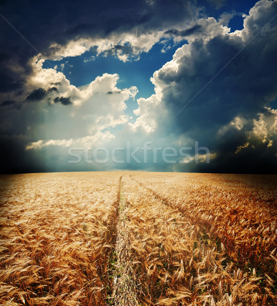 road in field with gold ears of wheat Stock photo © mycola
