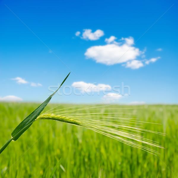 green ear over field. soft focus Stock photo © mycola