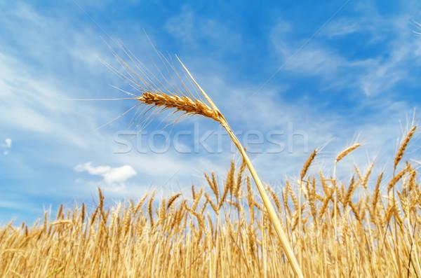 ear of wheat on field. soft focus Stock photo © mycola