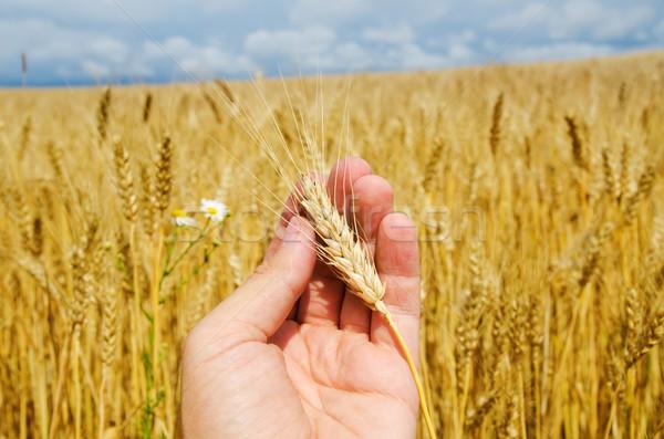 Altın hasat el gökyüzü manzara ekmek Stok fotoğraf © mycola