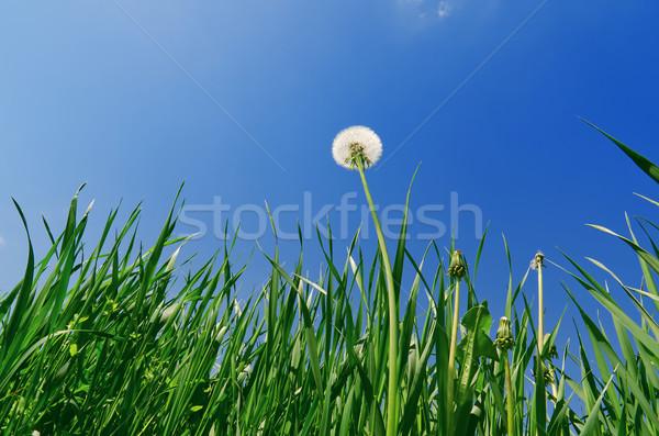 Eski karahindiba yeşil ot alan mavi gökyüzü bahar Stok fotoğraf © mycola