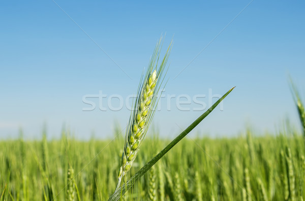 green spica on field. soft focus Stock photo © mycola