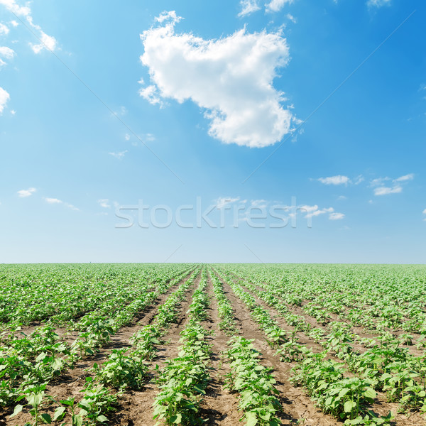 cloud in blue sky over field with green sunflowers Stock photo © mycola