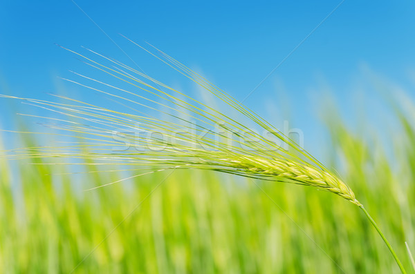 green spica over field. soft focus Stock photo © mycola
