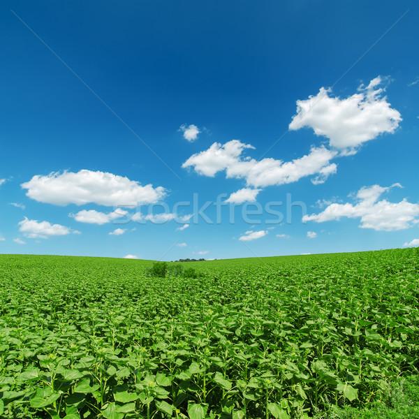 field with green sunflowers under deep blue sky Stock photo © mycola