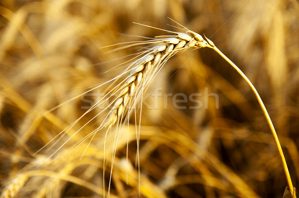 ear in sunrays. deep color Stock photo © mycola