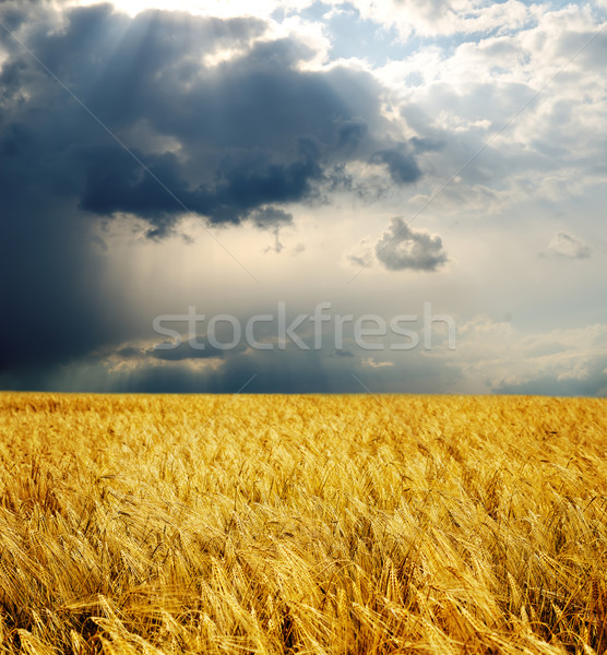 field with gold ears of wheat under dramatic sky. rain before Stock photo © mycola