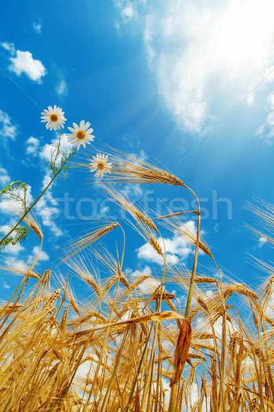 white flower with wheat under sunny sky Stock photo © mycola