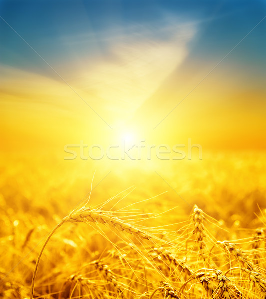 good sunset over golden harvest Stock photo © mycola