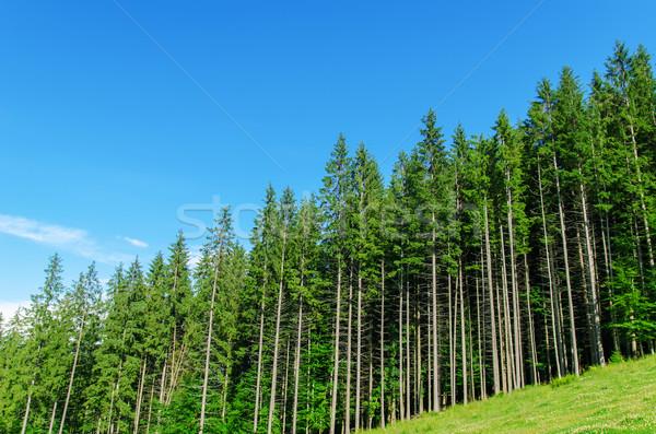 pine forest under deep blue sky in mountain Carpathians Stock photo © mycola