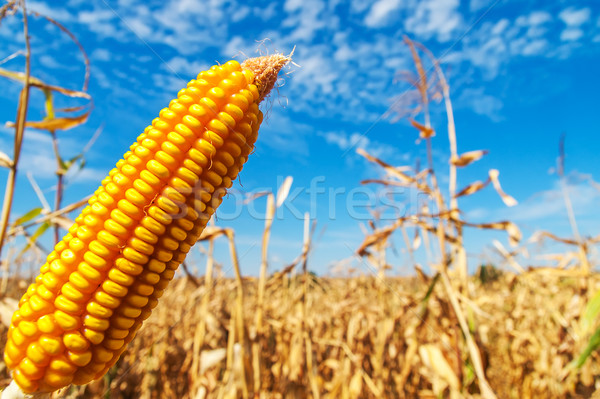ripe golden maize over field Stock photo © mycola