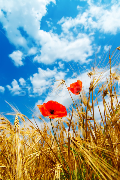 red poppy in golden field Stock photo © mycola