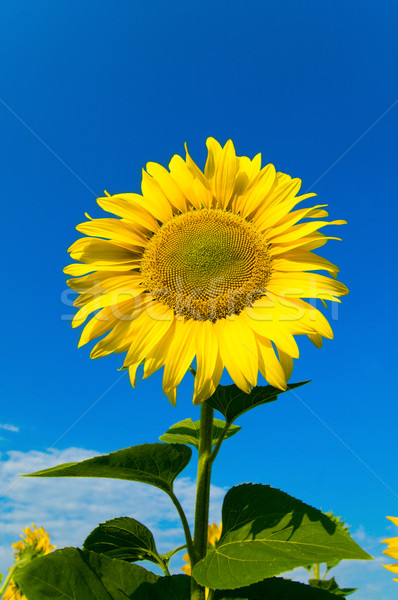 sunflower with sky over it Stock photo © mycola