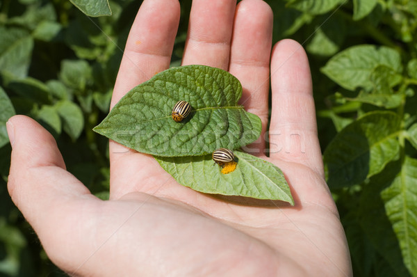 コロラド州 ジャガイモ カブトムシ 手 卵 庭園 ストックフォト © mycola
