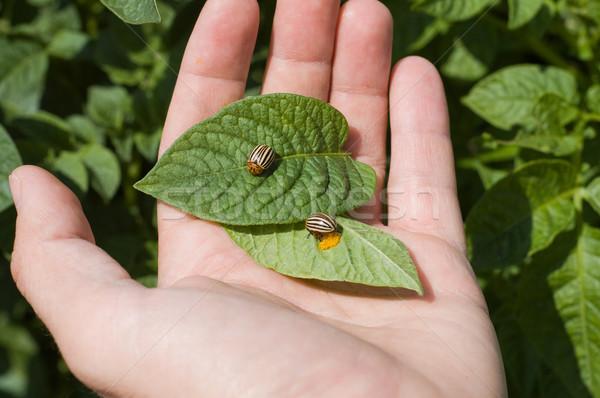 Colorado potato beetle Stock photo © mycola