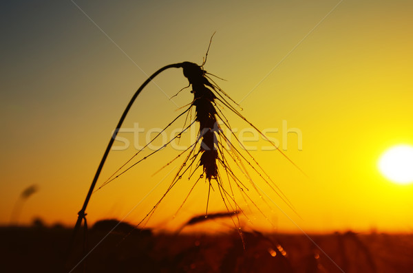 wet ears of ripe wheat on sunset Stock photo © mycola