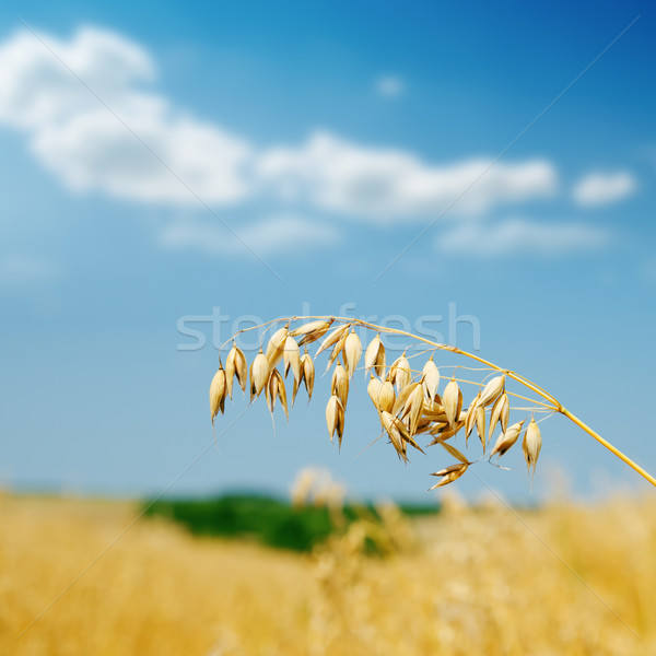 golden oat on field Stock photo © mycola