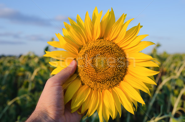 hand showing sunflower over field Stock photo © mycola