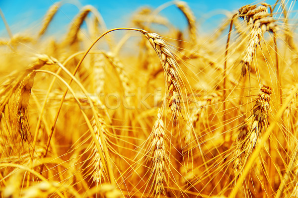 Dourado cevada campo céu paisagem beleza Foto stock © mycola