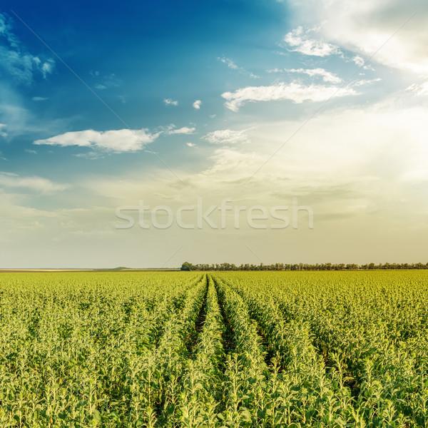 Foto d'archivio: Campo · verde · girasoli · tramonto · primavera · erba
