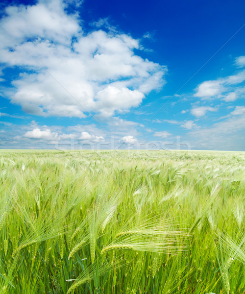field of green wheat under cloudy sky Stock photo © mycola